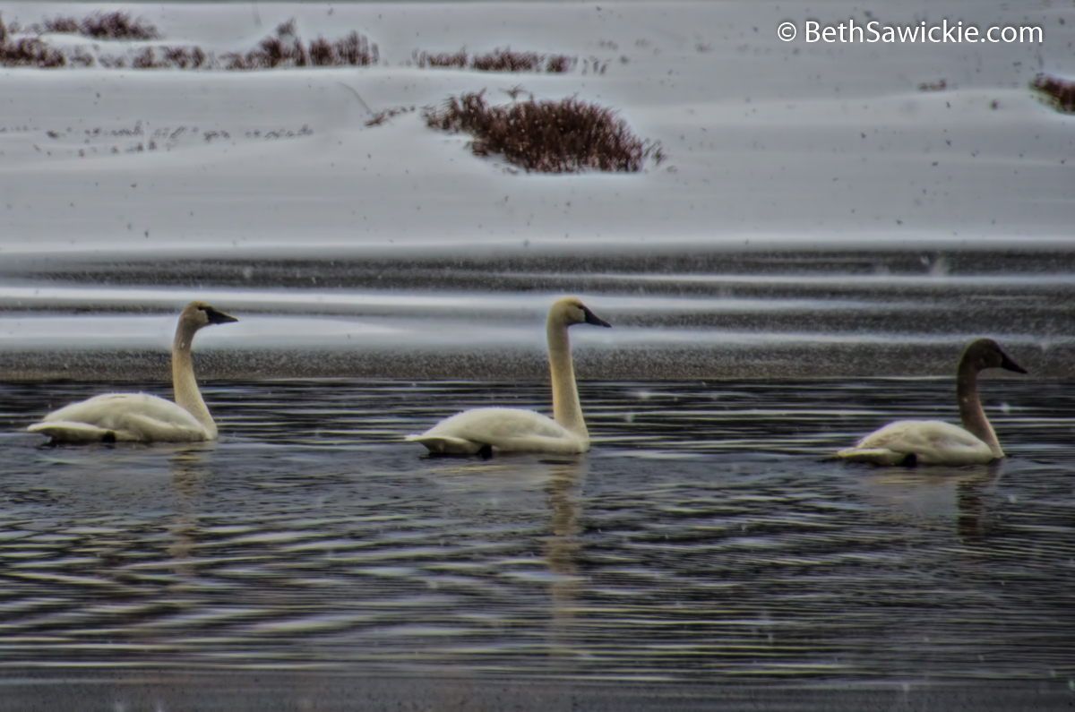 Tundra Swan Family in the Snow by Beth Sawickie