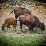 Baby Bison and Family http://bethsawickie.com/baby-bison-family (Bison Three)
