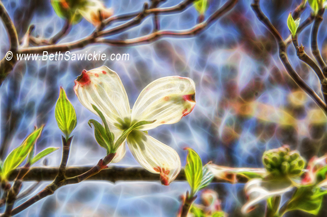 Dogwood Glowing in the Sunlight by Beth Sawickie http://www.bethsawickie.com/dogwood-glowing-in-the-sunlight