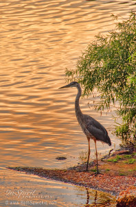 Heron at Sunset by Beth Sawickie http://www.bethsawickie.com