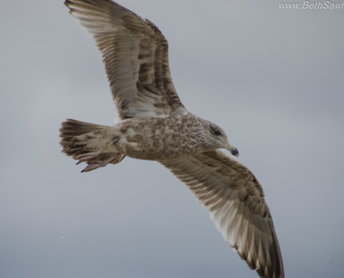 Herring Gull in Winter by Beth Sawickie http://bethsawickie.com/herring-gull-in-winter