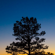 Mighty Pine at Sunset by Beth Sawickie