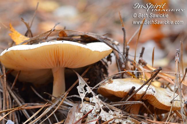 Mushroom 7 by Beth Sawickie http://bethsawickie.com/