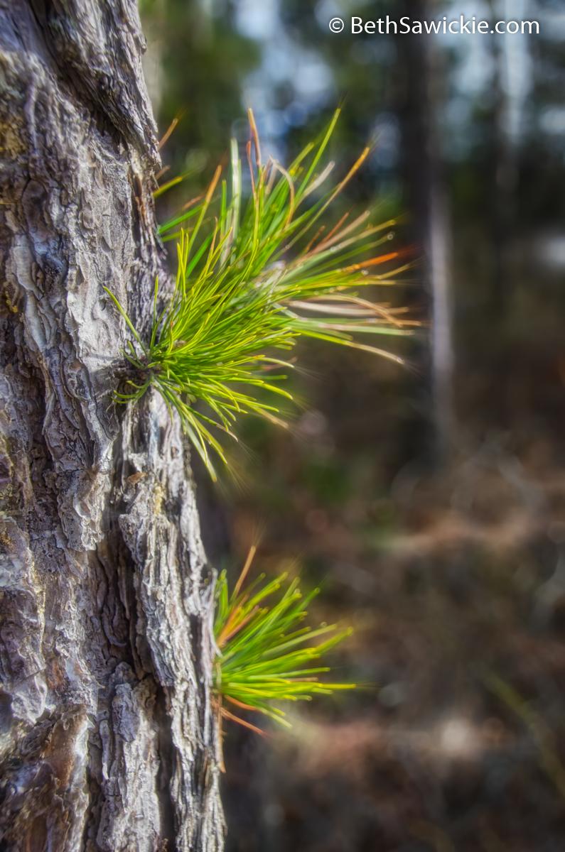 Pitch Pine Glow by Beth Sawickie