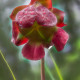 Pitcher plant after a rain by Beth Sawickie