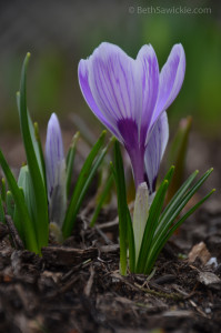 Purple Crocus 1 by Beth Sawickie