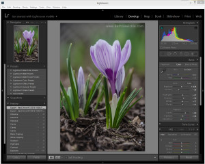 Purple Crocus in Lightroom by Beth Sawickie