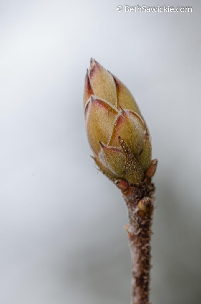 Spring Bud 1 by Beth Sawickie