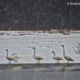 Tundra Swans in the Snow 2 by Beth Sawickie
