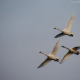 Tundra Swans in Flight by Beth Sawickie http://bethsawickie.com/tundra-swans-in-flight