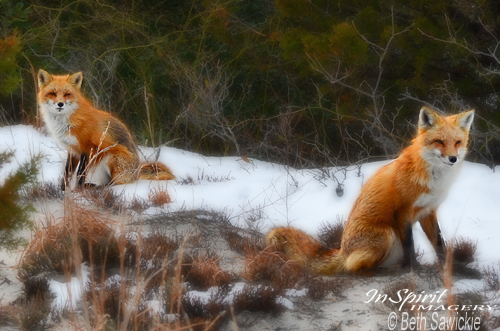 "Image by Beth Sawickie - www.BethSawickie.com ""Two Foxes During Winter"""